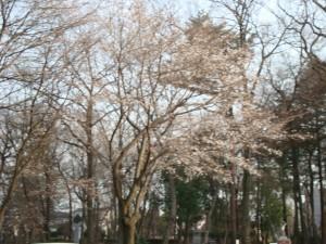 桜2013-1